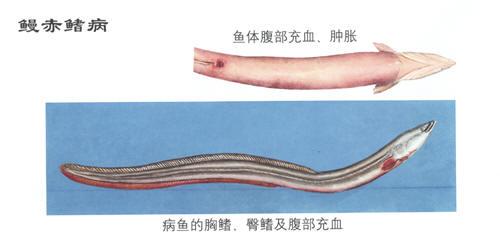 鳗鱼赤鳍病症状及防治技术