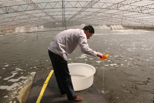 温棚养殖南美白对虾投苗八大关键点