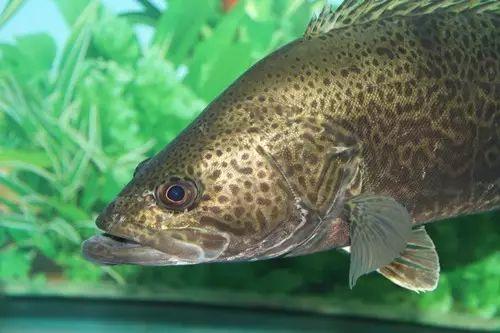 抗病力强的杂交鳜或将颠覆鳜鱼行业