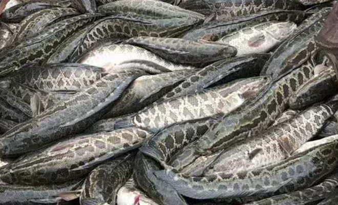 """价格狂跌,有人一塘鱼少卖几十万,黑鱼又现""""价格黑洞"""",幕后真相是什么?"""