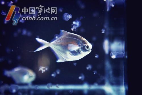 19年养成一条鱼!浙江宁波东海银鲳规模化养殖 最快年底上市