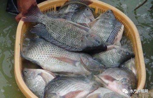 """美味便宜,刺少肉多,罗非鱼具备网红的特质!再不转内销,或成""""一条死鱼""""?"""